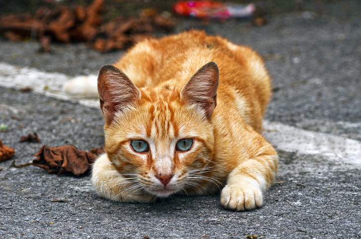 Why Are Orange Tabby Cats Usually Males Primevet